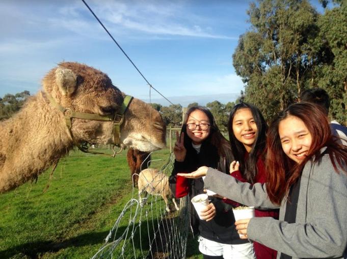 Các du học sinh cùng vui chơi ở trại lạc đà